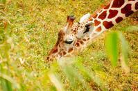 Giraffe - Shikisai