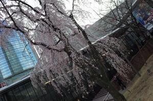 赤坂サカスの桜は100本くらいある - もるとゆらじお