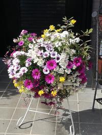 オステオスペルマムのハンギングバスケット - ひだまりの庭 ~ヒネモスノタリ~