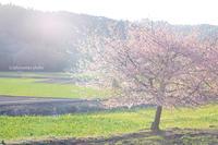 桜キラキラ。 - *ぷるはあと*