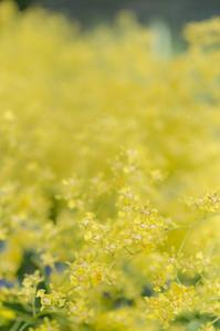 Spring yellow 4 - 気ままにお散歩
