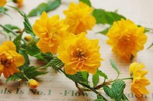ヤマブキの花言葉は「待ちかねる」、戦力外通告につき - *Flower Essence*