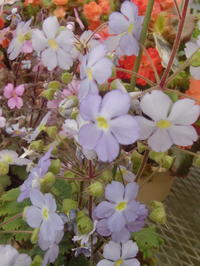 園芸店の新種春の花々 - 活花生活(2)