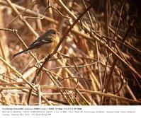 北本自然観察公園 2017.3.12 - 鳥撮り遊び