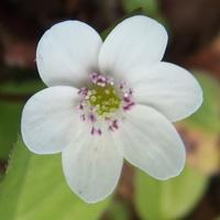 #野草讃歌『洲浜草』 Hepatica nobilis ver. japonica form. variegata - 自然感察 *Nature * feeling*