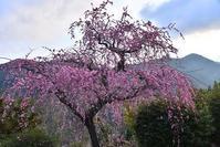 春浅い花の里   西吉野 - 峰さんの山あるき