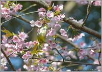 河津桜メジロ - 野鳥の素顔 <野鳥と・・・他、日々の出来事>