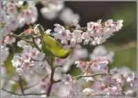 河津桜メジロ -2 - 野鳥の素顔 <野鳥と・・・他、日々の出来事>