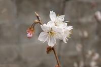 **実家の桜** - 毎日てくてくまりちゃん