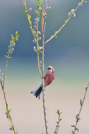 湿原のベニマシコ(3) - 彩の国 夢見人のフォト日記