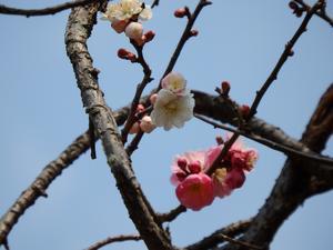 『Last plum blossom this year~』 - 自然風の自然風だより