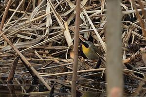 日本初? カオグロアメリカムシクイ - 野鳥公園