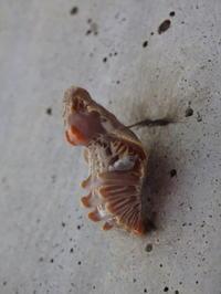 ジャコウアゲハのさなぎ Atrophaneura alcinous - 写ればおっけー。コンデジで虫写真