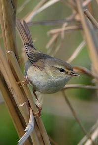 日本三鳴鳥 - ゆかぷー の 脚下照顧