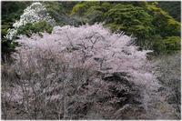 桜のある風景 - 写真画廊 ナカイノブカズ 2