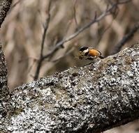 ヤマガラが営巣準備か・・・ - 一期一会の野鳥たち