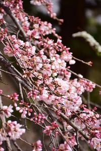枝垂れ桜 3分咲き♪ - 今日もカメラを手に・・・♪