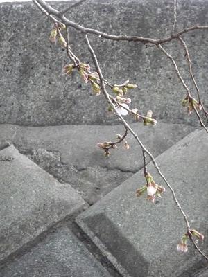 桜咲いたら - hibariの巣