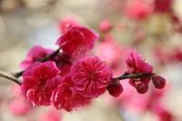 梅とメジロと日本酒と。 - ◆ キョウモドコカデチドリアシ ◆