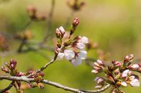 桜が咲き始めました! - 武蔵野散歩Ⅱ