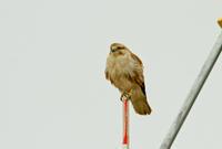 美人ノスリ - barbersanの野鳥観察