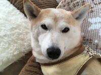 ささやかな日常に。ありがとう - 柴犬さくら、北国に生きる