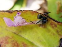ヒメオドリコソウの花弁を運ぶ蟻 - ネコと裏山日記
