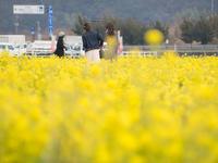 黄 黄 黄  笠岡干拓地 3月20日 - 風まかせ、カメラまかせ
