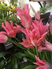 チューリップから見える季節感 - ルーシュの花仕事