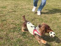 17年3月25日 グランドで遊んだよ♪ - 旅行犬 さくら 桃子 あんず 日記