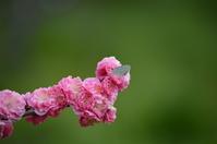ツバメシジミ 3月25日 - 超蝶