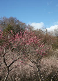 大阪 河南町 近つ飛鳥風土記の丘 梅 - 魅せられて大和路