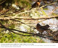 野川公園 2017.3.20(1) - 鳥撮り遊び