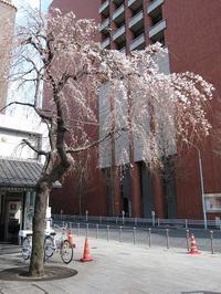 日本橋交番前の枝垂れ桜 - 旦那たちの憩いのブログ