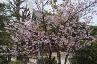 京の超早咲き桜を求めて(9)知恩寺のふじ桜 - たんぶーらんの戯言