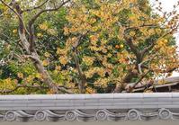 塀の向こうにマンサクの花 知恩寺・了蓮寺 - たんぶーらんの戯言