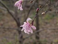 『河跡湖(かせきこ)公園の幣辛夷(シデコブシ)』 - 自然風の自然風だより