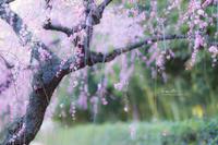 梅の頃 2 - lo scatto