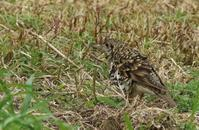 トラツグミ - poiyoの野鳥を探しに