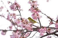 大寒桜と - 季節の映ろひ