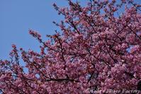 富山散歩~県東部383~今年も河津桜が咲きました(前編) - Tomの一人旅~気のむくまま、足のむくまま~