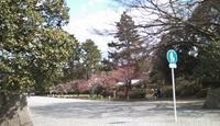 お花見(梅と桃):京都御苑 - お休みの日は~お散歩行こう
