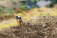 畑のおじさんと赤い鳥     ≪   ジョウビタキ♂   ≫ - そよ風のつぶやき