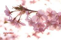 葉が生えた河津サクラ - ジージーライダーの自然彩彩