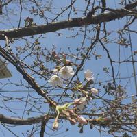 石神井の桜・つくばの桜 - kukka kukka