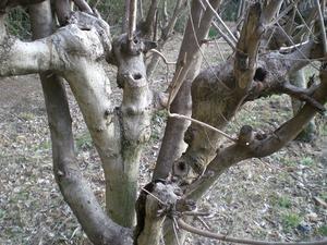 あっぱれの木 - メグスリノキネットBlog