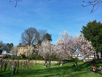桜が満開! - ドイツの優しい暮らし Part 2