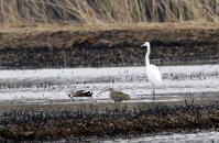 ホウロクシギ 初見・初撮り - 私の鳥撮り散歩