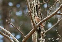 綺麗な「ハチジョウツグミ」さん~♪ - ケンケン&ミントの鳥撮りLifeⅡ