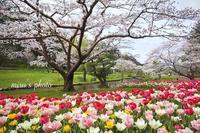 浜名湖花フェスタ2017 in はままつフラワーパーク - MIRU'S PHOTO